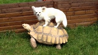 Download Funny animals riding turtles - Animal compilation Video
