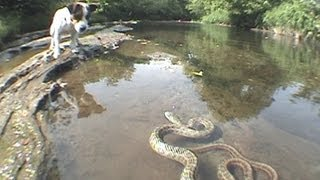Download Jack Russell Terrier vs. Snake Video