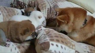 Download A dad was scolded.やりすぎパパにママぶち切れ! ☆柴犬☆アズ&コタ、ファミリーの日常 Video