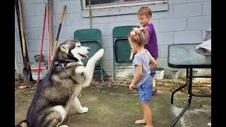 Download Obedience Training/Test of Malamute -Tonka the Dog!!!!!! Video