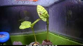 Download Fast Growing Moonflower Vine - Seedling Timelapse Video