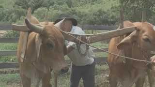 Download CARREIROS DE JACUÍ ARANDO TERRAS COM BOIS Video