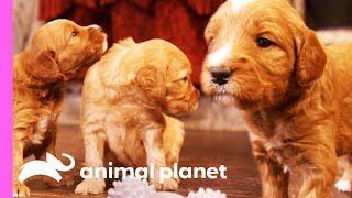 Download A Dozen Goldendoodle Puppies Take Over This House! | Too Cute! Video