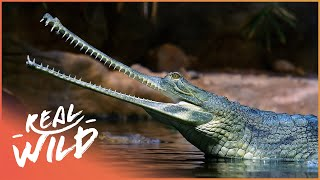 Download Crocodile Blues [Romulus Whitaker Documentary]   Real Wild Video
