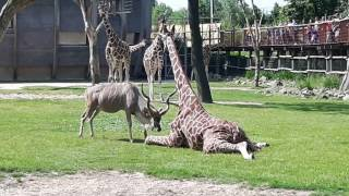 Download Shocking! Kudu attacks Giraffe at Blijdorp Zoo Rotterdam! Video