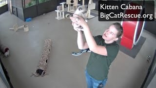 Download Cute Kittens in the Kitten Cabana at Big Cat Rescue Video