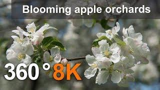 Download 360°, Blooming apple orchards. Moscow, Kolomenskoye. 8K video Video