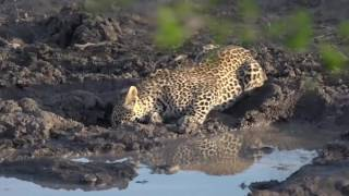 Download -Sept 30, 2016- Karula calls and greets her cubs after making a kill Video