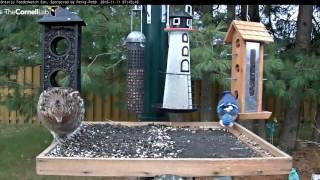 Download Ruffed Grouse Has Guests For Breakfast - Nov. 11, 2016 Video