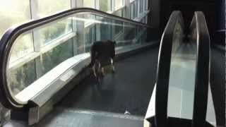 Download Perro bajando las escaleras electricas FAIL Video