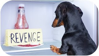 Download Fear of dachshund's revenge! Funny dog video! Video