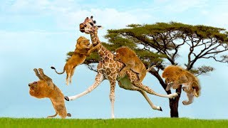 Download Amazing Giraffe Knockout Herd Of Lions One By One | Lion vs Giraffe Video