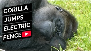 Download Badongo Silverback Gorilla leaps to a tree to avoid electric fence Video
