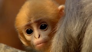Download Cute baby monkey has too many babysitters - Animal Super Parents: Episode 3 Preview - BBC One Video