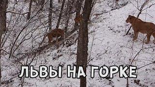 Download ЛЬВЫ НА ГОРКЕ Video