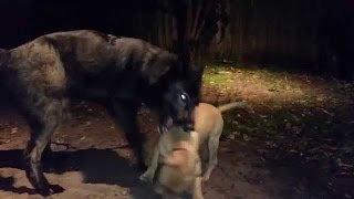 Download Wolves kill a Pitbull!!! Video