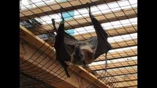 Download The Biggest Bat in the World - Flying Fox Video