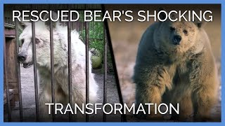 Download Rescued Bear's Shocking Transformation Video