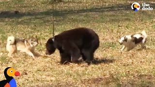 Download Chained Bear Trained Hunting Dogs Until He Was Rescued and Set Free | The Dodo Video