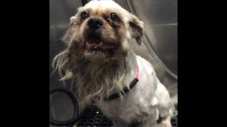 Download Grooming A Scared, Aggressive Matted Dog Video