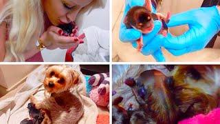 Download MY DOG GIVING BIRTH! (GRAPHIC)   Gigi Video