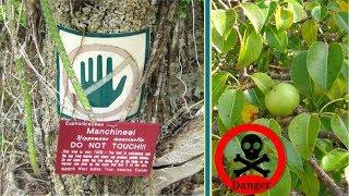 Download এই গাছের নীচে দাঁড়ালেই মৃত্যু অবধারিত !!! Most Dangerous Tree In Bangla Video
