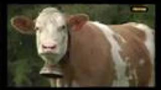 Download Almabtrieb im Burgenland Video