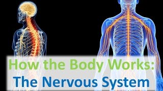 Download How the Body Works: The Nervous System Video