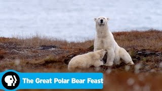 Download THE GREAT POLAR BEAR FEAST | Preview | PBS Video