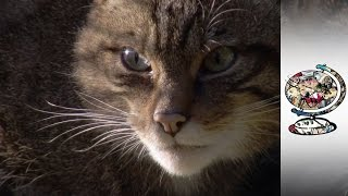 Download Reintroducing Endangered Wildcats Into Scotland Video