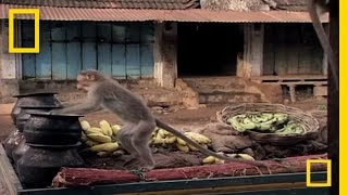 Download Drunk Monkeys | National Geographic Video