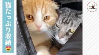 Download こんなセールスだったら受けてみたい? 猫のセールスマン登場😼🎒【PECO TV】 Video