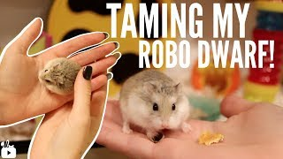 Download TAMING MY ROBOROVSKI HAMSTER Video