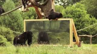 """Download """"Wie reagieren Schimpansen wenn sie sich selbst im Spiegel sehen?"""" Der Serengeti-Park zeigt es! Video"""
