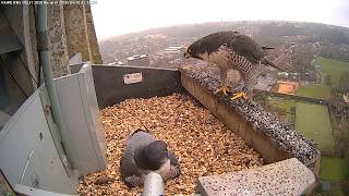 Download Norwich Peregrines 01 04 2018 Video