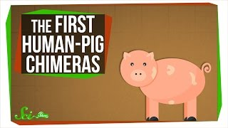 Download The First Human-Pig Chimeras Video