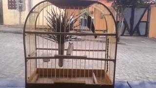 Download Canto comum de papa capim. Video