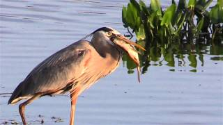 Download Great Blue Heron Eats A Fish Video