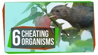 Download 6 Organisms That Cheat the System Video