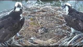Download 6/5/16 ~ BOULDER COUNTY OSPREY, CHICK GETS CLOBBERED BY DAD Video