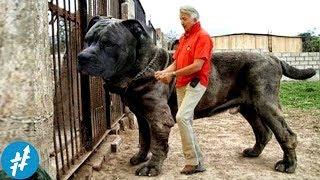 Download 10 Anjing Penjaga TERBESAR Di Dunia, Ngeliat Ukurannya Bikin PENJAHAT Keder Duluan Video