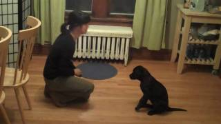 Download Very Smart Black Labrador Puppy- Training Session Video