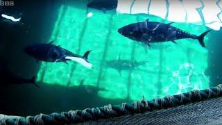 Download Breeding Wild Southern Bluefin Tuna - Australia with Simon Reeve - BBC Video