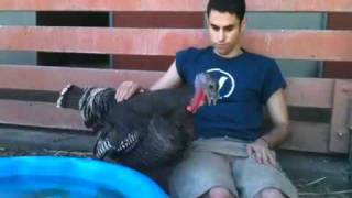 Download Turkey Talk with Turkey Lurkey Video