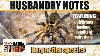 Download Harpactira Species Husbandry Notes (ft. H. pulchripes) Video