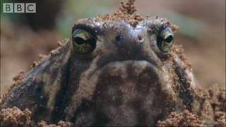 Download Amazing Rain Frogs | Life In Cold Blood | BBC Video