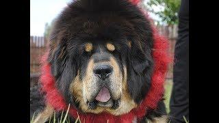Download Ogromne mastify tybetańskie z Nam Kha w polskiej telewizji Video