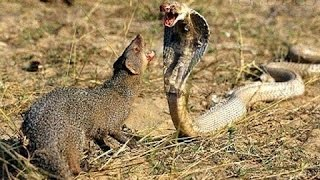 Download Best Animals attack compilation 2016 - snakes eat frogs and reptiles - Cobra cannibalistic Video