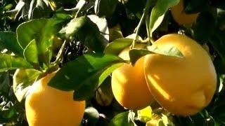 Download Narenciye Yetiştiriciliği - Portakal, Mandalina ve Limon Yetiştiriciliği Video