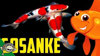 Download What is Gosanke? Kohaku Koi, Showa Koi and Sanke Koi. Video